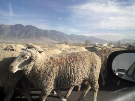 A Baaaaaad Traffic Baaaaack-Up.
